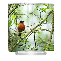 American Robin On Tree Branch Shower Curtain
