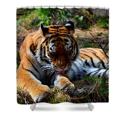 Shower Curtain featuring the mixed media Amur Tiger 2 by Angelina Vick