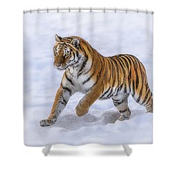 Shower Curtain featuring the photograph Amur Tiger Running In Snow by Rikk Flohr
