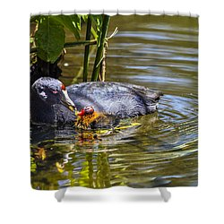 Andean Coot Feeding Her Chick Shower Curtain