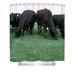 Angus Cattle Shower Curtain by Science Source