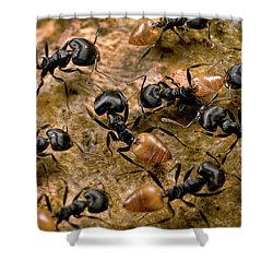 Ant Crematogaster Sp Group Shower Curtain by Mark Moffett
