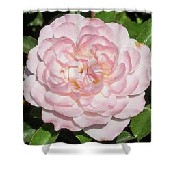 Antique Pink Rose Shower Curtain