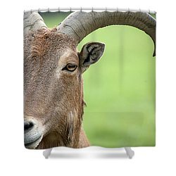 Aoudad Shower Curtain by Karol Livote
