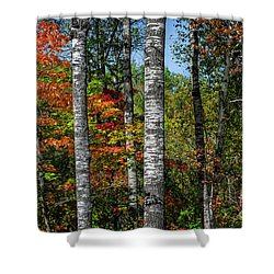 Shower Curtain featuring the photograph Aspens In Fall Forest by Elena Elisseeva