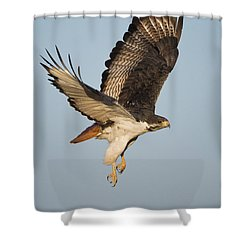 Augur Buzzard Buteo Augur Flying Shower Curtain by Panoramic Images