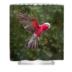 Australian Galah Parrot In Flight Shower Curtain