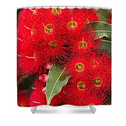 Australian Red Eucalyptus Flowers Shower Curtain by Joy Watson