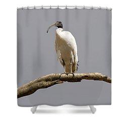 Australian White Ibis Perched Shower Curtain
