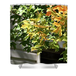 Autumn Leaves Against White Shower Curtain