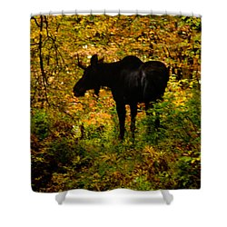 Autumn Moose Shower Curtain by Brent L Ander