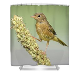 Baby Common Yellow Throat Warbler Shower Curtain