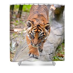 Baby Sumatran Tiger Cub Shower Curtain by Richard Bryce and Family