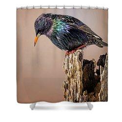 Backyard Birds European Starling Square Shower Curtain