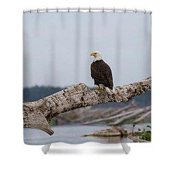 Bald Eagle #1 Shower Curtain