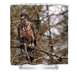 Bald Eagle Juvenile 2 Shower Curtain by Sharon Talson