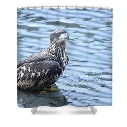 Bald Eagle Juvenile Shower Curtain