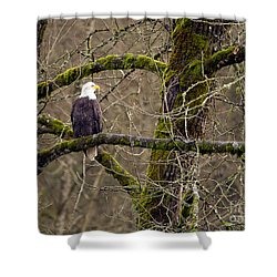 Bald Eagle On Mossy Branch Shower Curtain by Sharon Talson
