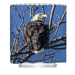 Bald Eagle Perched Shower Curtain