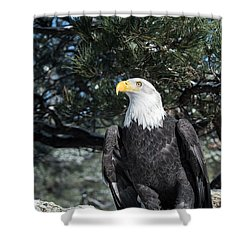 Bald Eagle Ready For Flight Shower Curtain