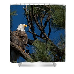 Bald Eagle Resting Shower Curtain