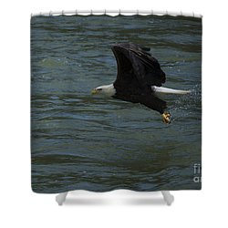 Bald Eagle With Fish In Claws Flying Over The French Broad River, Tennessee Shower Curtain