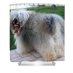 ball of fur Havanese dog Shower Curtain by Sally Weigand