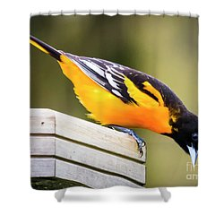 Shower Curtain featuring the photograph Baltimore Oriole About To Jump by Ricky L Jones