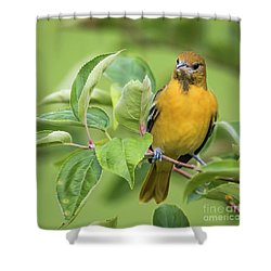 Baltimore Oriole Closeup Shower Curtain by Ricky L Jones