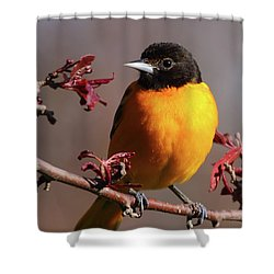 Baltimore Oriole II Shower Curtain