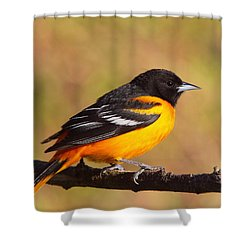 Baltimore Oriole IIi Shower Curtain