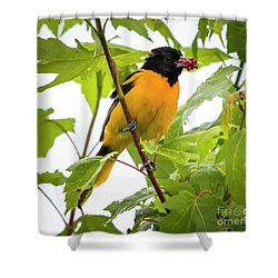 Shower Curtain featuring the photograph Baltimore Oriole With Raspberry  by Ricky L Jones