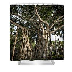 Banyan Tree At Bonnet House Shower Curtain