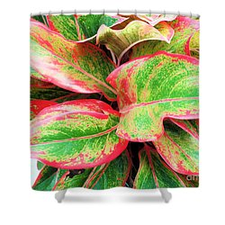 Shower Curtain featuring the photograph Beautiful Red Aglaonema by Ray Shrewsberry
