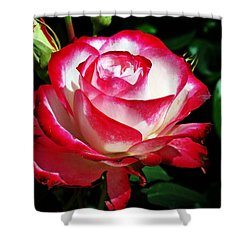 Shower Curtain featuring the photograph Beauty Rose by Joseph Frank Baraba