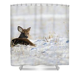 Bedded Fawn In Snowy Field Shower Curtain by Brook Burling