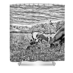 Belted Galloway Beef Cattle Shower Curtain by Daniel Hebard