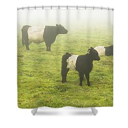 Belted Galloway Cows Grazing  In Foggy Farm Field Maine Shower Curtain