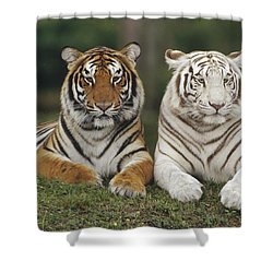 Shower Curtain featuring the photograph Bengal Tiger Team by Konrad Wothe