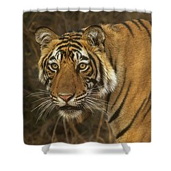 Bengale Tiger Shower Curtain