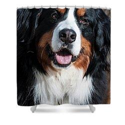 Bernese Mountain Dog Portrait  Shower Curtain by Gary Whitton
