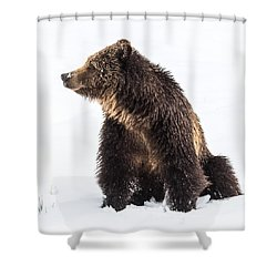 Shower Curtain featuring the photograph Beryl Springs Grizzly Sow In Snow by Yeates Photography