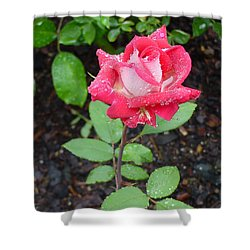 Bi-colored Rose In Rain Shower Curtain