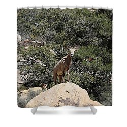 Shower Curtain featuring the photograph Big Horn Sheep  by Christy Pooschke
