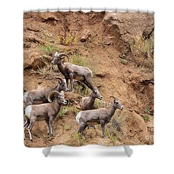 Big Horn Sheep Family Shower Curtain