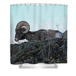 Bighorn Sheep Shower Curtain by Cindy Murphy - NightVisions