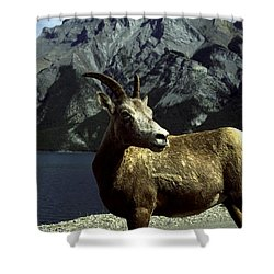 Shower Curtain featuring the photograph Bighorn Sheep by Sally Weigand