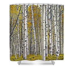Birch Tree Grove With A Touch Of Yellow Color Shower Curtain