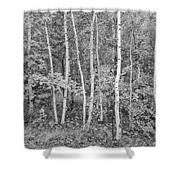 Shower Curtain featuring the photograph Birches Acadia 1995 by Peter J Sucy