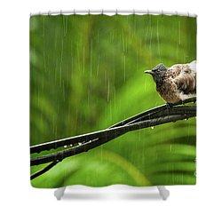 Birds Of Sri Lanka  Pycnonotus Cafer Shower Curtain by Venura Herath